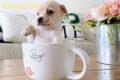 Chó Chihuahua Teacup – 4 Cảnh Báo Cần Lưu Ý