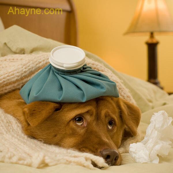 bệnh care ở chó vẫn không có thuốc chữa triệt
