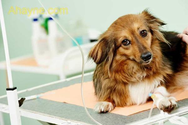 các giai đoạn của bệnh care ở chó