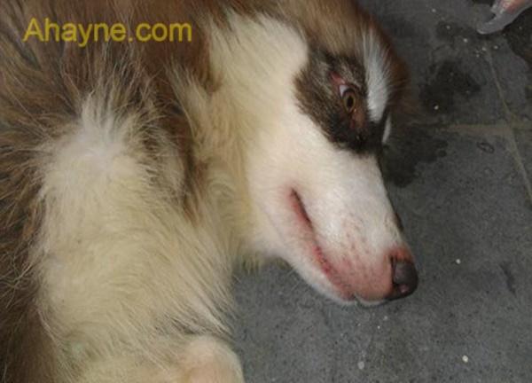 nếu chó bị mắc care từ 10 ngày trở lên sẽ có triệu chứng thần kinh