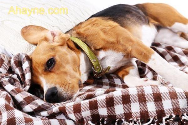 bệnh care ở chó làm chó suy kiệt nhanh