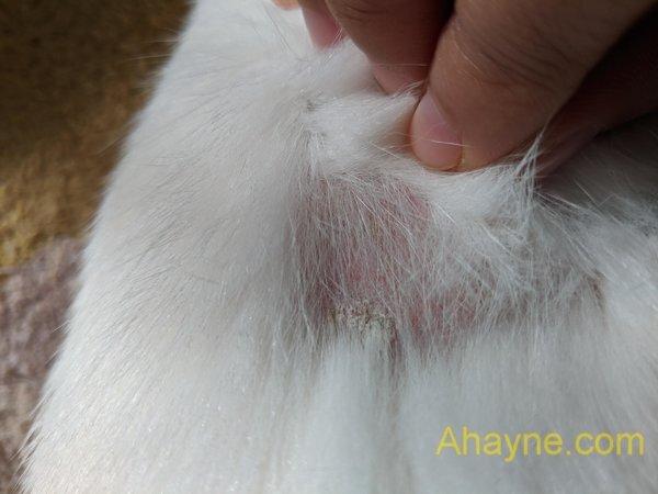 các dấu hiệu của bệnh nấm da ở mèo