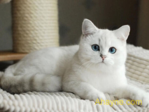 mèo lớn tuổi dễ sụt cân