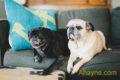 Giới thiệu giống Chó Pug mặt xệ– những điều cần biết