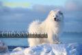 Giống Chó Samoyed thuần chủng Giá Bao Nhiêu Tiền?