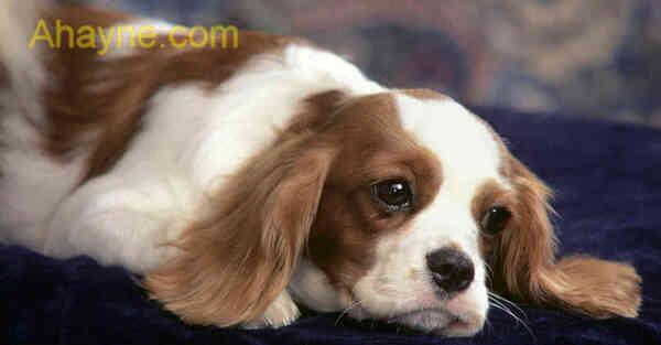 phòng tránh chó bị chảy nước mắt tạo vệt
