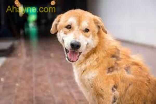 chó bị ghẻ rụng lông hơn bình thường