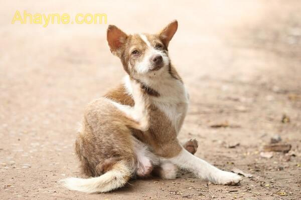 phân loại và triệu chứng khi chó bị ghẻ