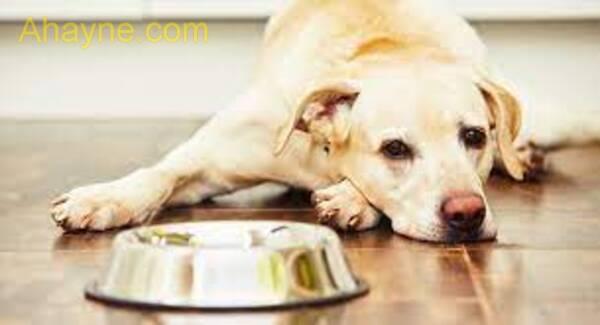 trước khi bị đi ngoài có thể do chó ăn uống không bình thường