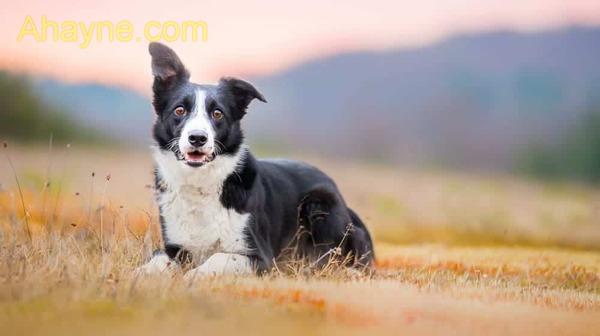 """chó border collie, còn gọi là """"collie biên giới"""" có nguồn gốc từ vùng northumberland"""