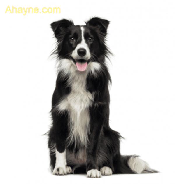 border collie là giống chó có kích thước cỡ trung bình với thân hình vừa phải