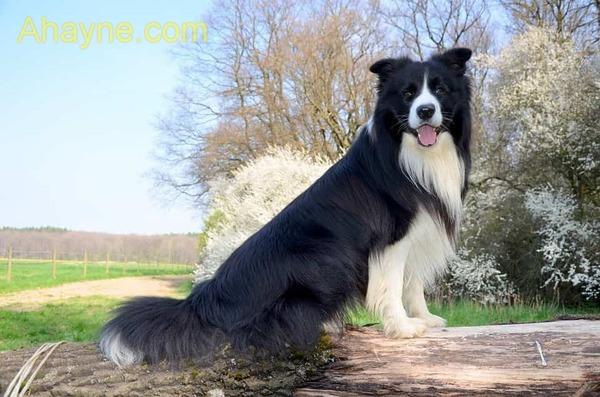 border collie đứng đầu trong danh sách những giống chó thông minh nhất thế giới