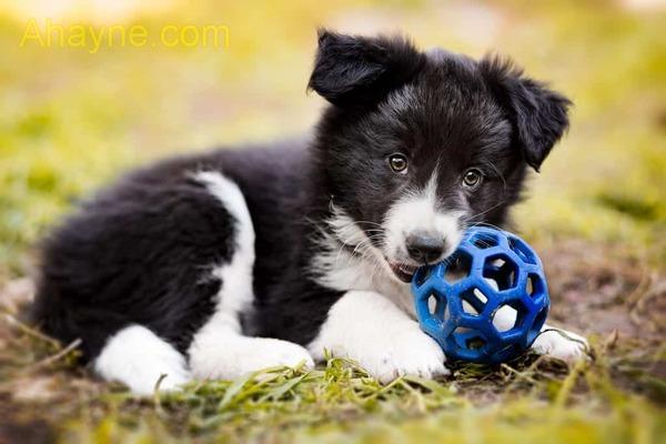 border collie là loài chó rất ngoan và biết vâng lời