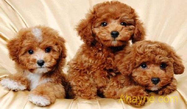 chia sẻ cách nuôi chó poodle đạt hiệu quả cao nhất từ a – z