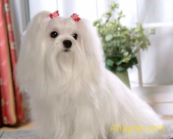 maltese - chú chó quý tộc dễ thương
