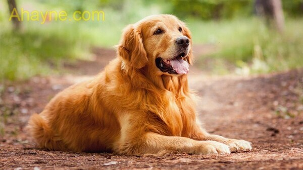 Ở việt nam hiện tại có khá nhiều các giống chó cảnh