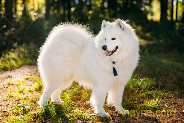 chú chó samoyed có đôi mắt rất bé