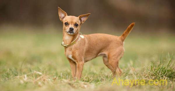 chihuahua là chó cảnh giá rẻ từ 3 - 4 triệu/con