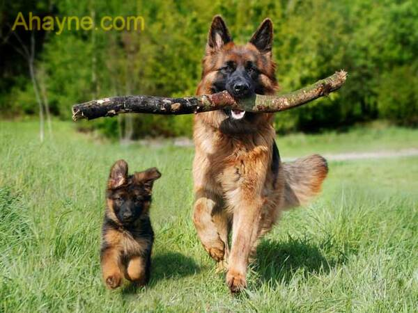 và thật tự hào nếu chúng ta sở hữu một chó cảnh thông minh