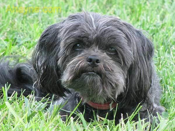 chó affenpinscher (chó phốc khỉ)