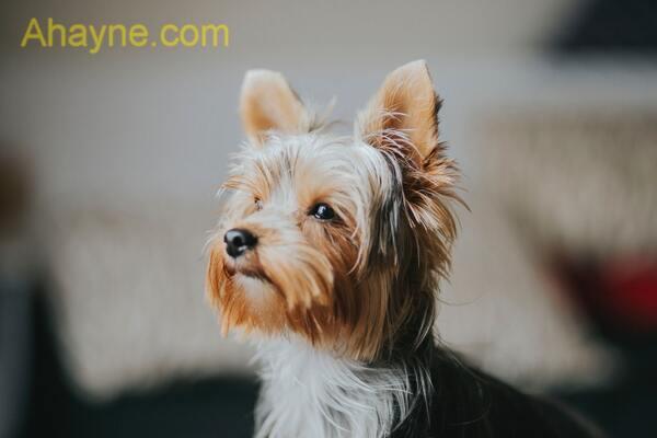 brussels griffon là những con chó rất thông minh