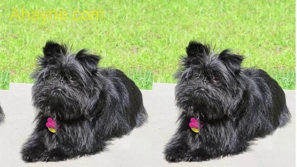 top 16 các giống chó cảnh cỡ nhỏ dễ nuôi nhất