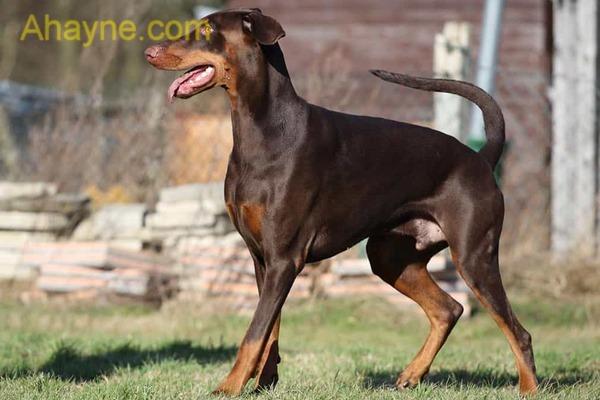 doberman là giống chó nổi tiếng về lòng trung thành