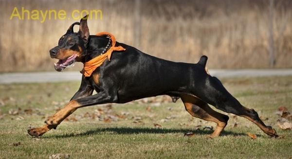 chó doberman dễ dàng huấn luyện