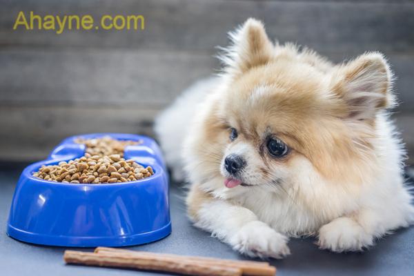 chó phốc khá kén ăn nên ăn uống là một trong những nguyên nhân phổ biến nhất dẫn đến tình trạng đi ngoài ở chó phốc