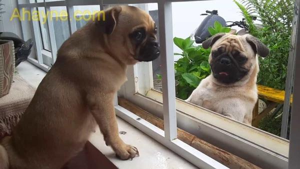chó pug có thể sống tốt khi nuôi trong căn hộ