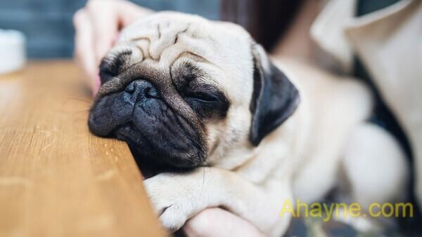 chó pug thuần chủng – nguồn gốc, Đặc Điểm, giá bán pug mặt xệ