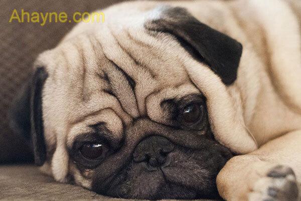 chó pug thuần chủng có mắt màu nâu