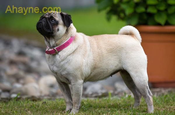 chó pug có lưng thẳng, dáng đi vững chắc và oai vệ