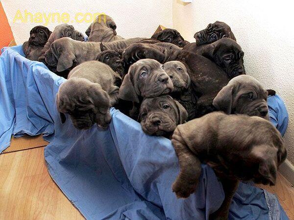 các con của tia – chú chó lập kỷ lục guiness khi sinh tới 24 con