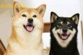 Mua chó Shiba Inu- Cửa hàng mua bán chó mèo cảnh và các loại thú cưng