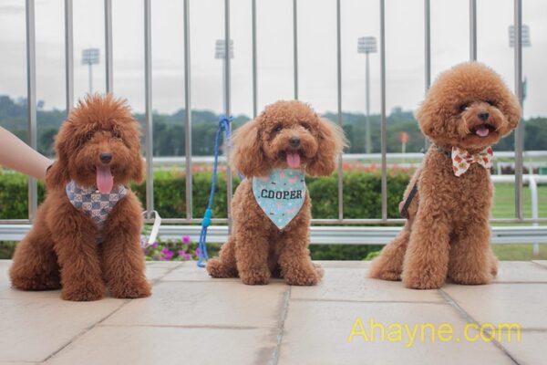 poodle toy – giống chó đáng yêu giá rẻ