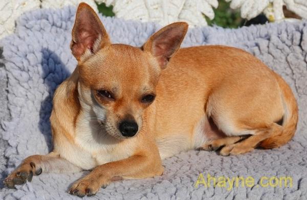 chihuahua – top 10 giống chó cảnh giá rẻ nhất thế giới