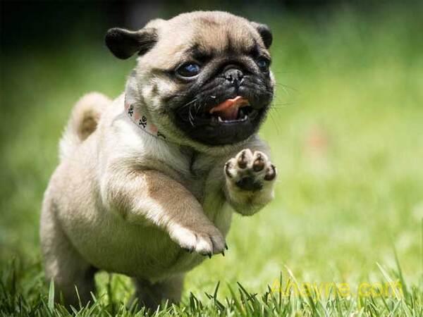 pug – giống chó          dễ thương và vui vẻ