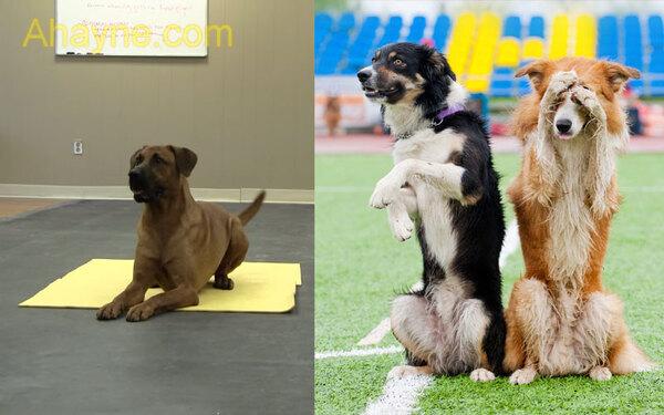 huấn luyện chó tại nhà: ngồi, nằm, bò cực dễ