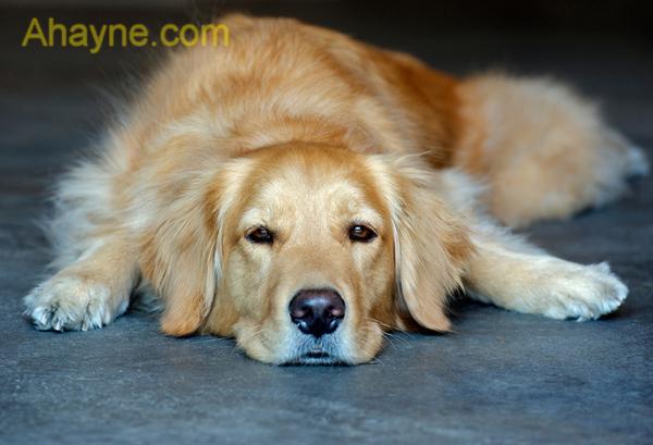 Ăn uống có ảnh hưởng rất lớn đến việc huấn luyện chó tại nhà