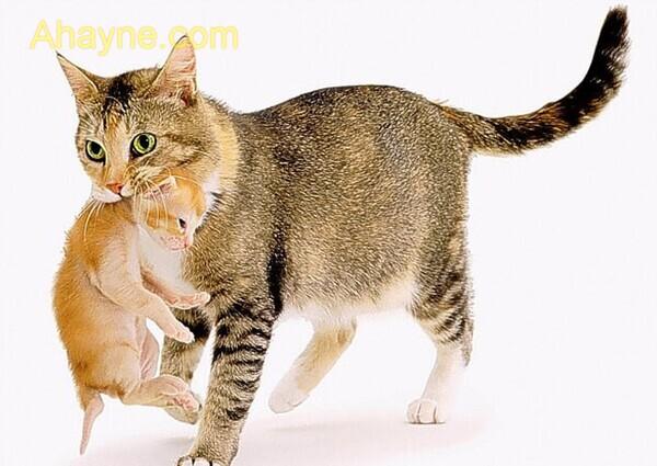 mèo mẹ đang cắp con đến một          vị trí khác