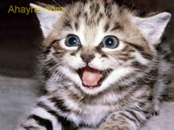 khi mèo con lớn lên, số lượng lần cho ăn của chúng cần mỗi ngày giảm xuống.
