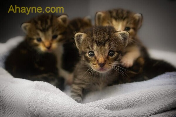 làm tổ cho các chú mèo con