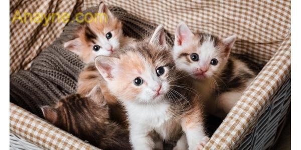 những chú mèo việt nam sở hữu cho mình một khuôn mặt khá nhỏ dại