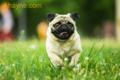 Những lưu ý khi nuôi chó Pug mà bạn không thể bỏ qua