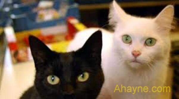 theo sinh học, mèo đen chỉ là một giống mèo bình thường