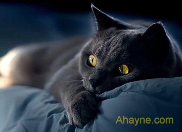 """Ở việt nam, mèo đen bị đồn đại là nguyên nhân gây ra hiện tượng """"quỷ nhập tràng"""""""