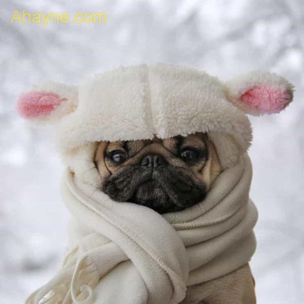 chó pug là giống chó không chịu được thời tiết quá lạnh hoặc quá nóng