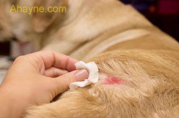 Điều trịbệnh viêm da ở chó