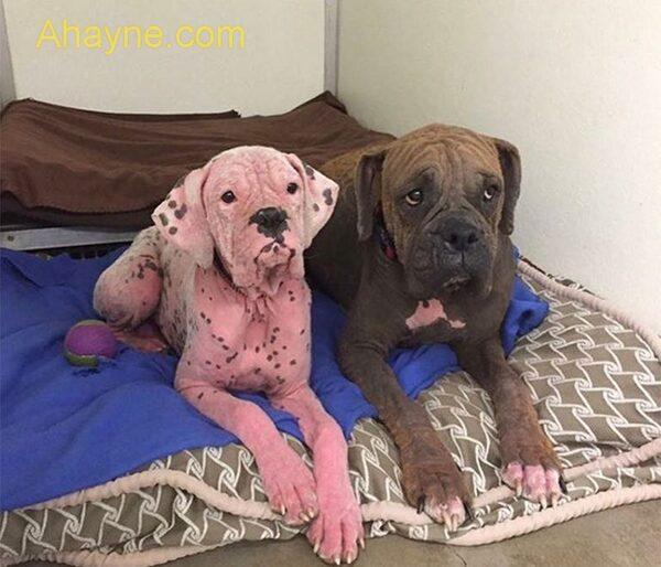 bệnh viêm da ở chó đã tước đi vẻ ngoài xinh xắn, đáng yêu của nhiều chú chó